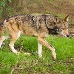 Lupo rosso: tutti i segreti dell'animale in via di estinzione