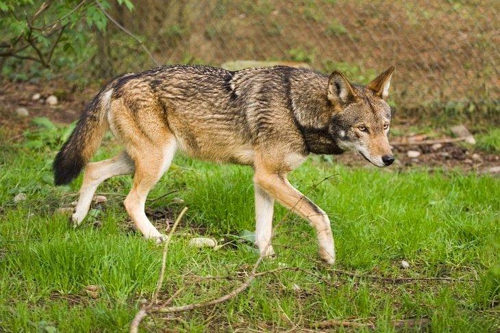lupo rosso storia